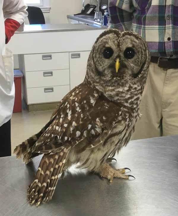 owl visitor at Newbury Animal Hospital